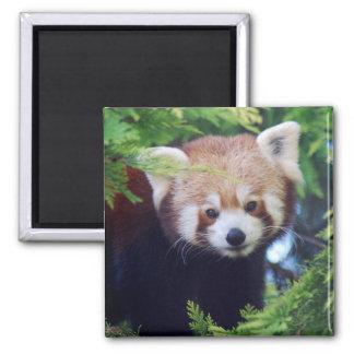 Red Panda Square Magnet