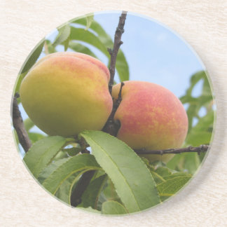Red peaches hanging on the tree . Tuscany, Italy Drink Coaster