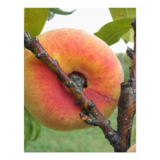 Red peaches hanging on the tree . Tuscany, Italy Letterhead