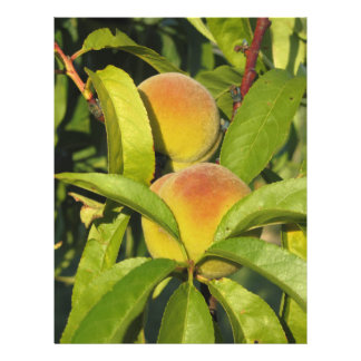 Red peaches on tree branches in a cultivated land letterhead template