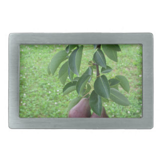 Red pears hanging on a growing pear tree belt buckle