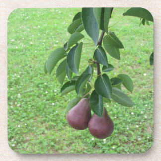 Red pears hanging on a growing pear tree coaster