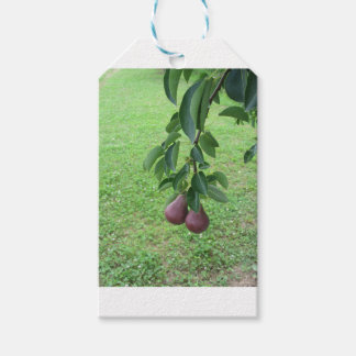 Red pears hanging on a growing pear tree gift tags