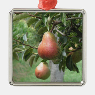Red pears hanging on the tree . Tuscany, Italy Silver-Colored Square Ornament