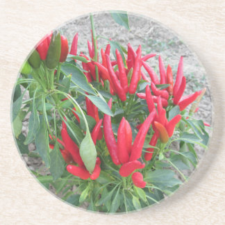 Red peppers hanging on the plant coaster