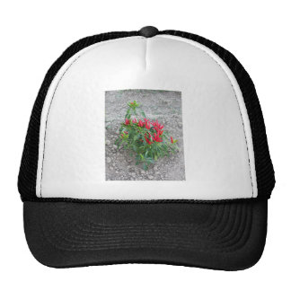 Red peppers hanging on the plant trucker hat