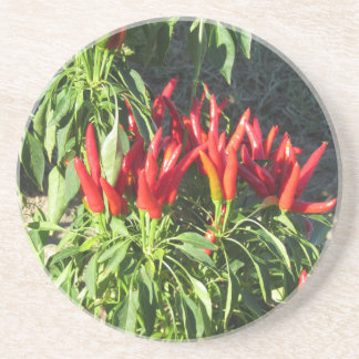 Red peppers hanging on the plant . Tuscany, Italy Coaster