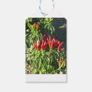 Red peppers hanging on the plant . Tuscany, Italy Gift Tags