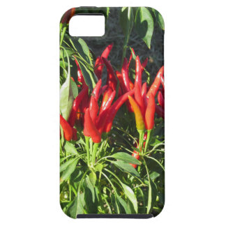 Red peppers hanging on the plant . Tuscany, Italy iPhone 5 Case