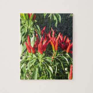 Red peppers hanging on the plant . Tuscany, Italy Jigsaw Puzzle