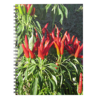 Red peppers hanging on the plant . Tuscany, Italy Notebooks