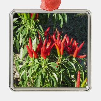 Red peppers hanging on the plant . Tuscany, Italy Silver-Colored Square Ornament