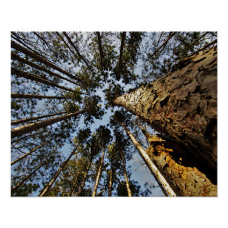 Red Pine Tree Tops Poster