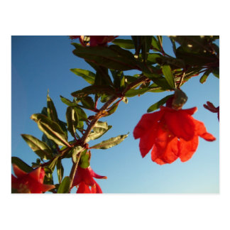 Red Pomegranate Flower Postcard