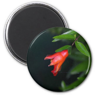 Red pomegranate flower (Punica granatum) on a tree 2 Inch Round Magnet