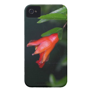 Red pomegranate flower (Punica granatum) on a tree iPhone 4 Covers