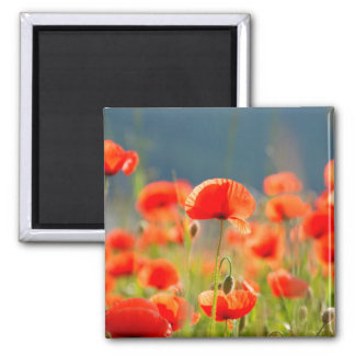 Red Poppies Poppy Flowers Blue Sky Square Magnet