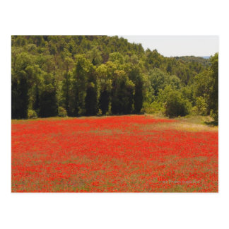 Red poppies spring Provence France Postcard