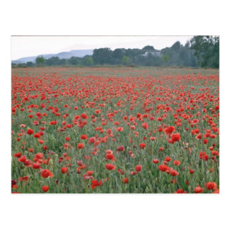 Red Poppy field, Kent, England flowers Postcard