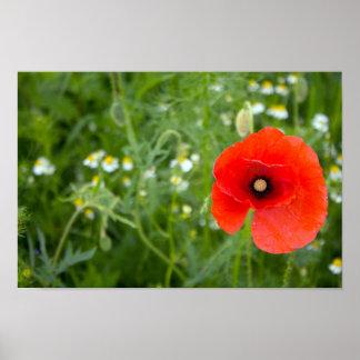 Red Poppy Flower in a field Poster