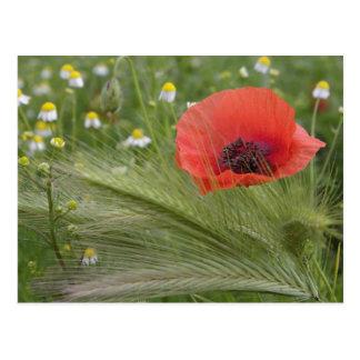 Red poppy flower, Tuscany, Italy Postcard
