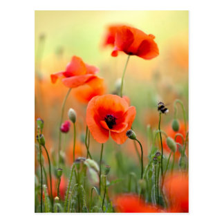 Red Poppy Flowers Postcard