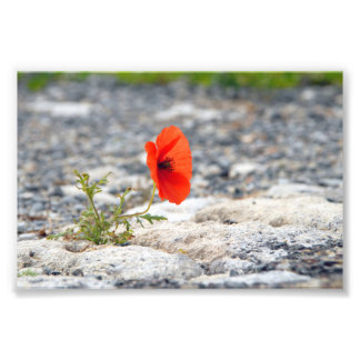 Red poppy in pavement photograph