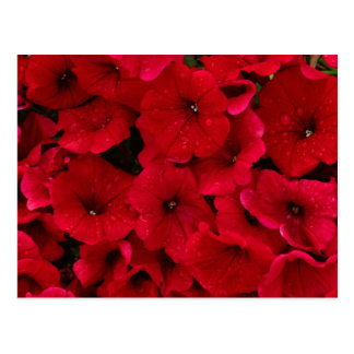 Red Rain Drop Petunias Postcard