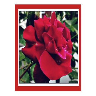 red ready rose postcard