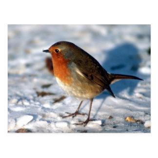 Red Robin bird Postcard