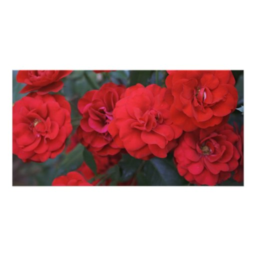 Red Rose Blossoms - flower photography Photo Greeting Card