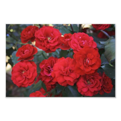 Red Rose Blossoms - flower photography Photo Art