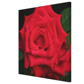 Red rose flower in bloom in the garden canvas print