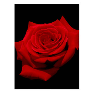 Red Rose on Black Background Postcard