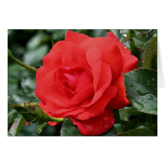 Red Rose Thorns Flower Photography Card