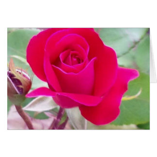 Red rose, West Lafayette, Indiana Card