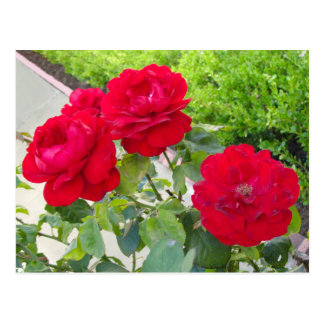 Red Roses Postcard