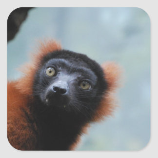 Red Ruffed Lemur  Stickers