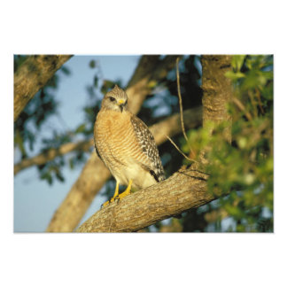 red-shouldered hawk, Buteo lineatus, sits on Photo