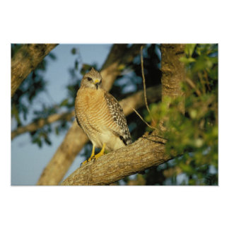 red-shouldered hawk, Buteo lineatus, sits on Poster