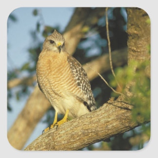red-shouldered hawk, Buteo lineatus, sits on Square Sticker