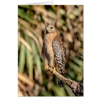 Red Shouldered Hawk in a tree Card