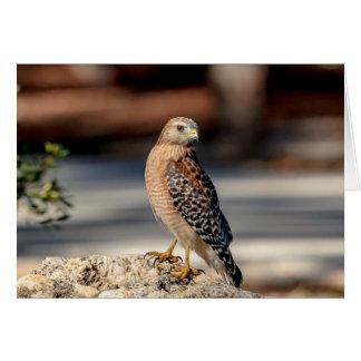 Red Shouldered Hawk on a rock Card