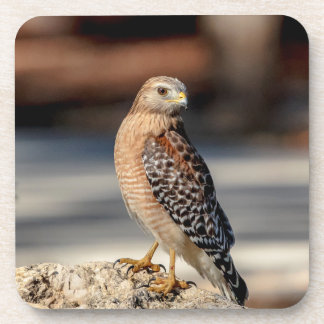 Red Shouldered Hawk on a rock Coaster