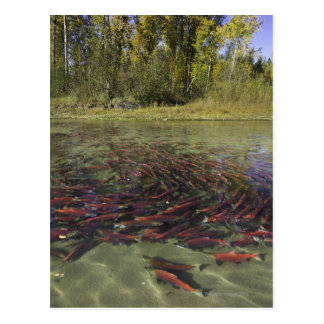 Red Sockeye salmon milling in calm eddy and Postcard