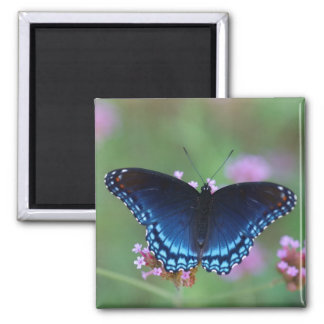 red-spotted purple magnet