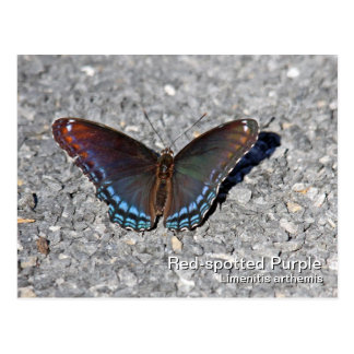 Red-spotted Purple Postcard