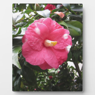 Red spotted white flower of Camellia Marmorata Plaque