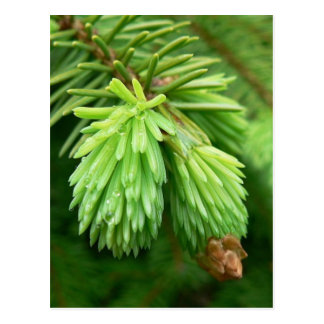 Red Spruce Sprouts Postcard