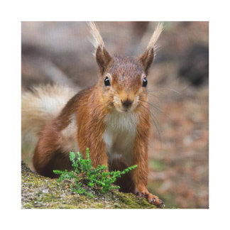 red squirrel animal print